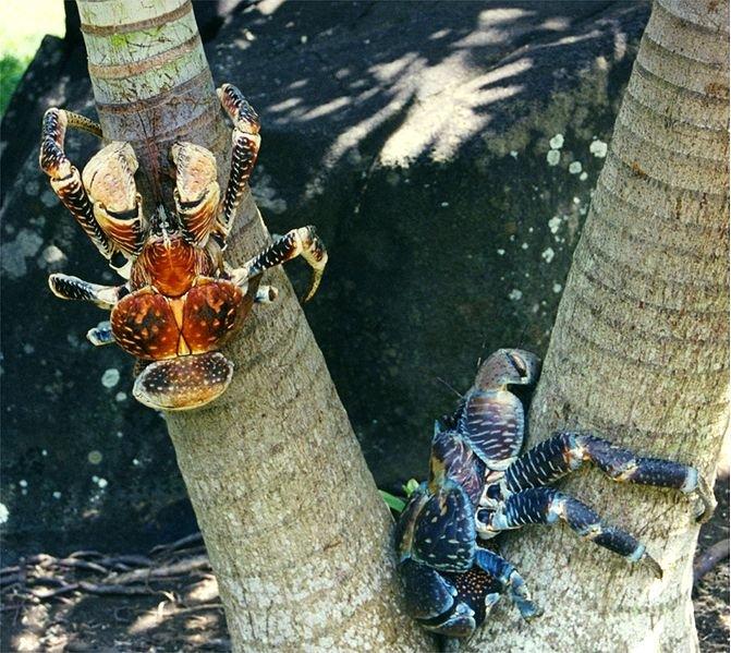 crabi decocotieri 1