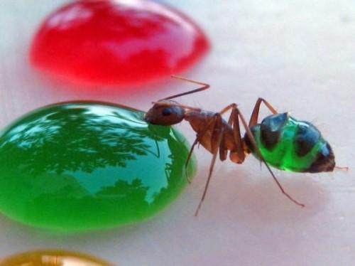 N-ai mai văzut aşa ceva! Furnicile care îşi schimbă culoarea în funcţie de ce mănâncă