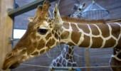 girafa1_01_5315592807