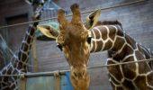 Au împuşcat această girafă în cap şi au tranşat-o de faţă cu copiii!