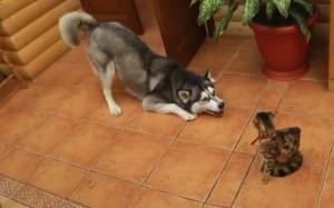 Un HUSKY vrea să se joace cu o pisică. FELINA nu înțelege intențiile amicului ei și rămâne impasibilă. VIDEO