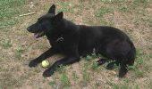 """După ce s-a """"pensionat"""", un câine poliţist a primit o scrisoare emoţionantă de la şeful poliţiei"""