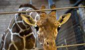 Danezii vor să mai omoare o girafă pe care o cheamă tot MARIUS!