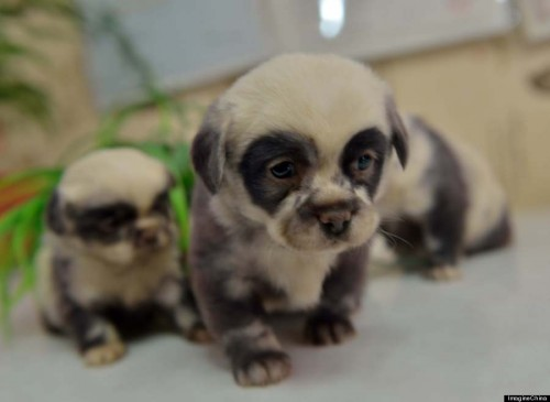 REAL SAU FALS? Acesti câini s-au nascut cu IMPRIMEU de PANDA!
