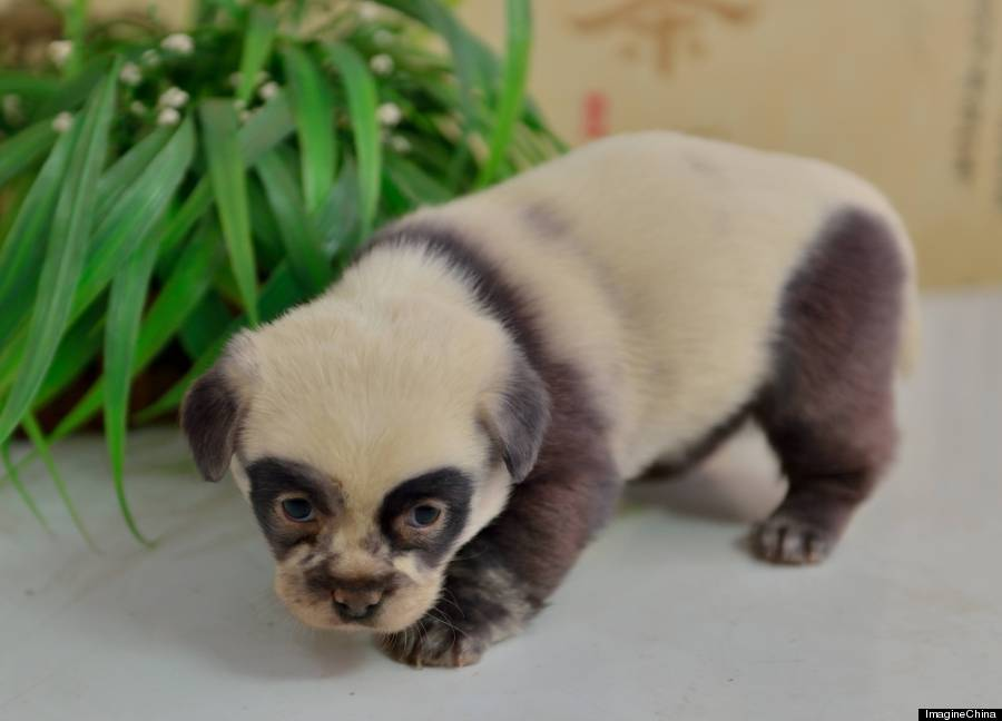 o-PANDA-PUPPY-900