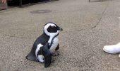Așa se manifestă un pinguin ÎNDRĂGOSTIT! VIDEO SENZAȚIONAL