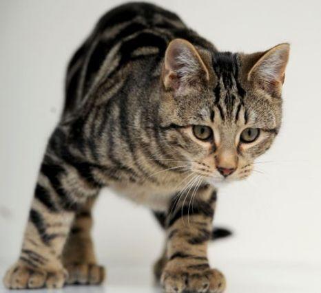 pisica cu cinci degete 1