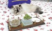 pisica rasfatata 1
