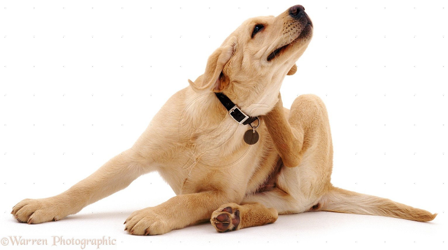 Yellow Labrador scratching its neck