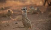 suricate 2