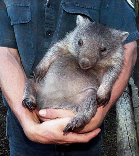 wombat (1)
