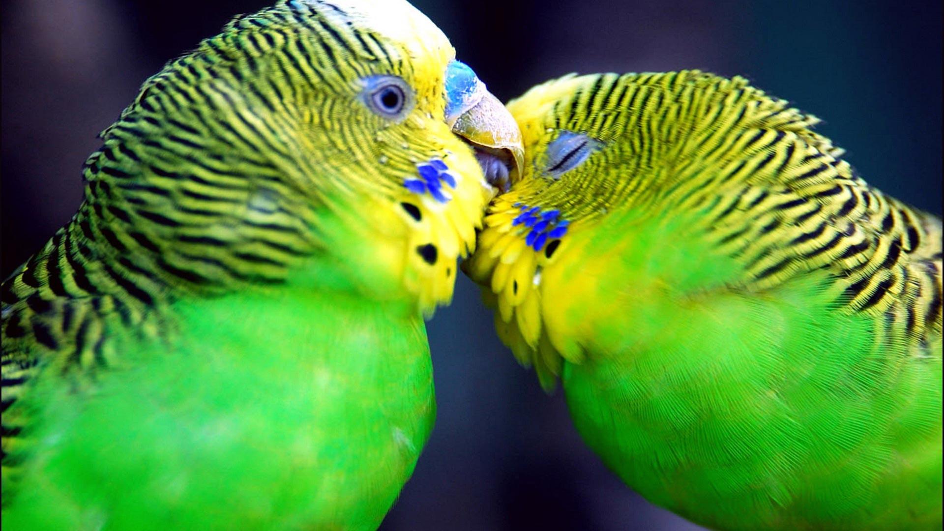 Amazon_parrots_widescreen_wallpaper