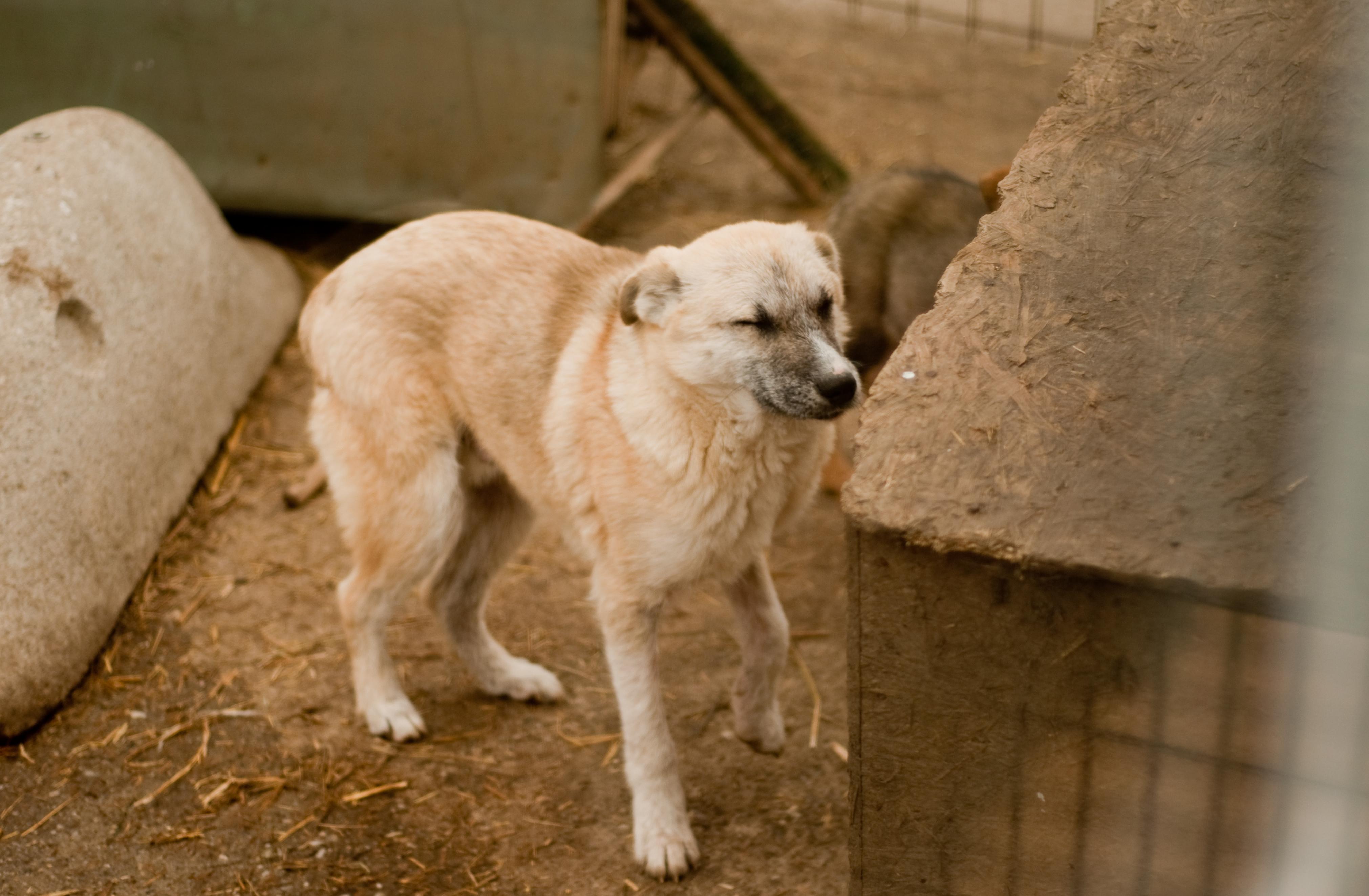Lupica_stray dog Romania