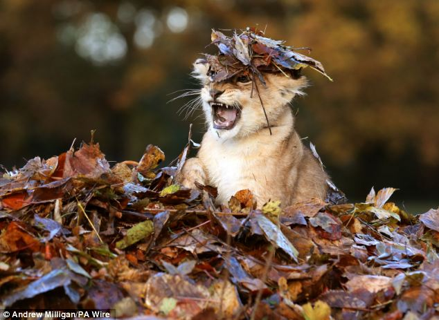 Lion-cub-playing-in-a-pile-of-leaves-01