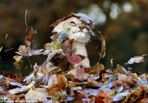 Lion-cub-playing-in-a-pile-of-leaves-02