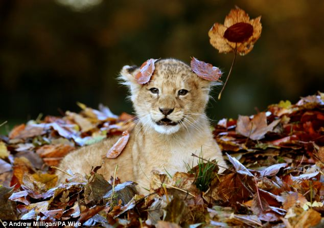 Lion-cub-playing-in-a-pile-of-leaves-03
