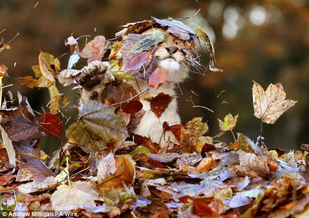 Lion-cub-playing-in-a-pile-of-leaves-04