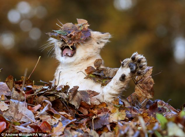 Lion-cub-playing-in-a-pile-of-leaves-05