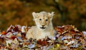 Lion-cub-playing-in-a-pile-of-leaves-06