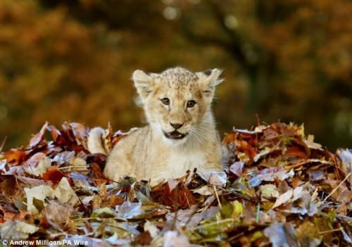 Pradator la varsta de 11 luni! Vezi cu ochii tai cat de fioros poate sa fie acest leu!