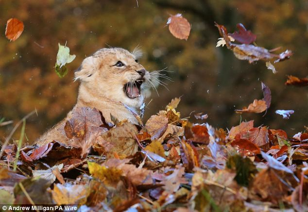 Lion-cub-playing-in-a-pile-of-leaves-07