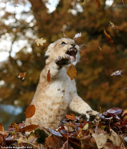 Lion-cub-playing-in-a-pile-of-leaves-08