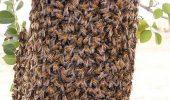 MIRACOL!  A fost atacată de zeci de mii de albine africane și A SUPRAVIEȚUIT!