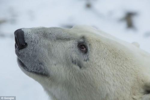 Cu ajutorul Google Maps poti sa admiri ursii polari chiar de la tine din casa!