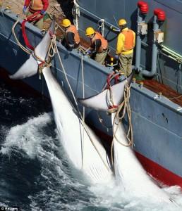 balena 2