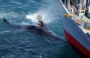 VICTORIE obținută la ONU! Japonia nu mai poate ucide balenele din PACIFICUL de NORD!
