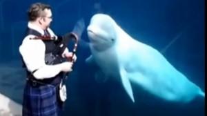 ABSOLUT INEDIT. 3 balene sunt CUCERITE de muzica unui cimpoi și încep să danseze! VIDEO
