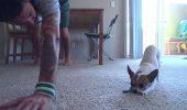 Chihuahua yoghin, câinele care îţi dă lecţii în sala de sport! Uite-l cum execută tot ce-i spune antrenorul!