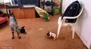Când vine vorba despre mâncare, un Chihuahua se transformă într-o BESTIE. FOTO
