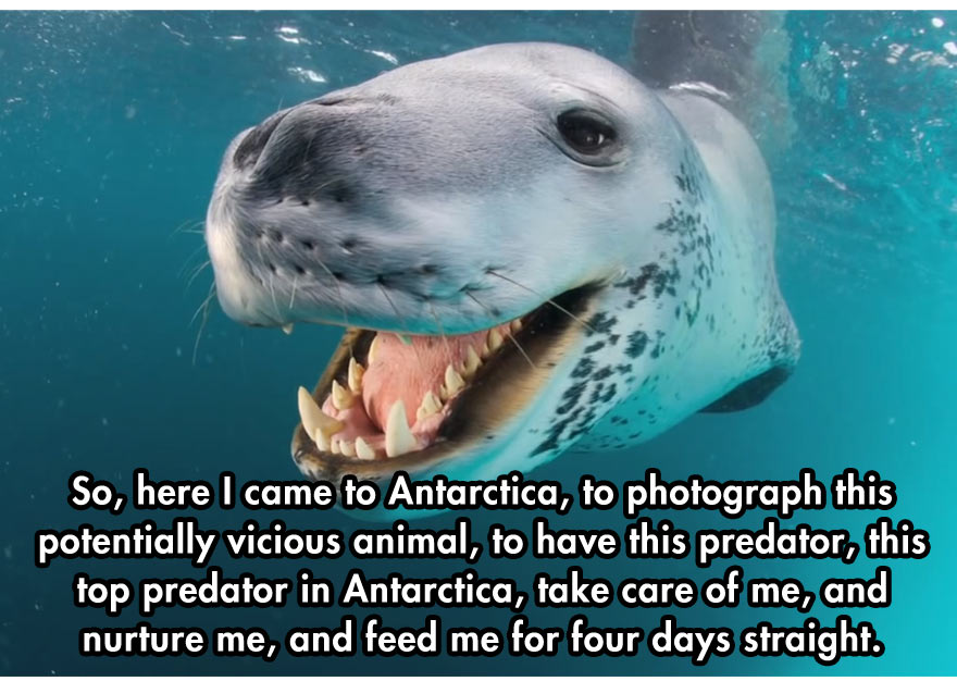 cool-face-off-predator-seal-camera-Antarctica
