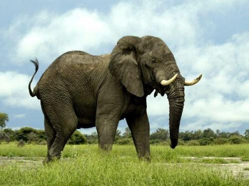 Elefantul si Romanul
