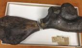 fosila 1
