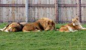 Animalele din România, născute în zodia ghinionului: Un leu adoptat de la noi a fost mâncat de leoaice!