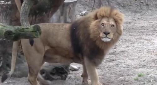 MASACRU LA GĂDINA ZOOLOGICĂ din Copenhaga. Au fost uciși 4 lei perfect SĂNĂTOȘI. VIDEO
