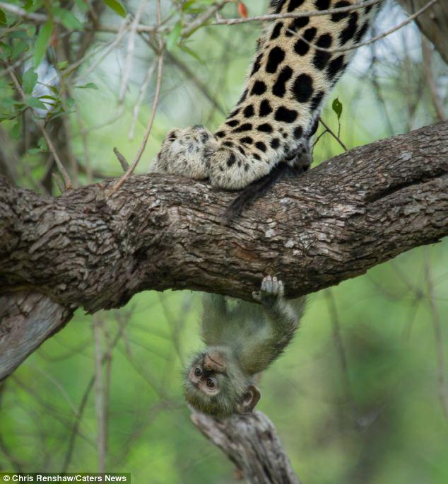leopard maimuta