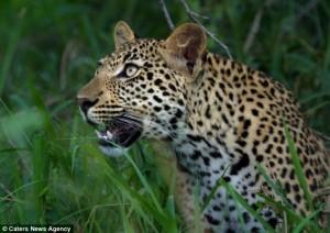 leopard maimuta1