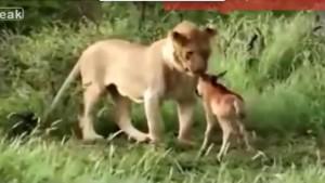DRAMATIC. Un pui de antilopă este aruncat în GHEARELE LEILOR. VIDEO