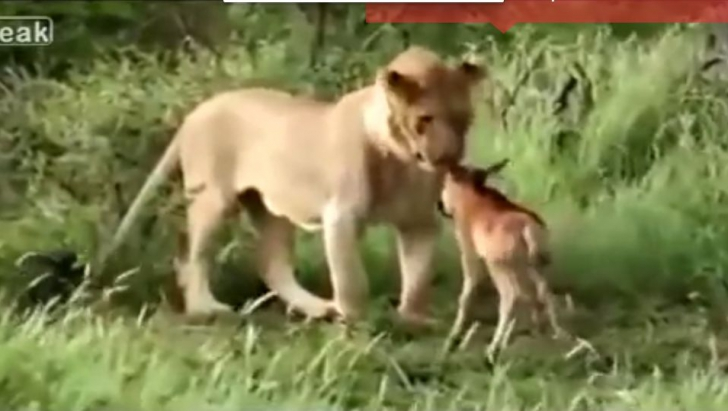 leu antilopa