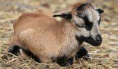 CURIOZITATE. S-a născut un miel din cea mai RARĂ rasă de oi!