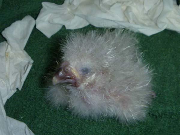 oul de kakapo 7