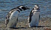 Pinguinii sunt modelul IDEAL de PARTENER DE VIATA! Afla care e secretul lor in cuplu :)