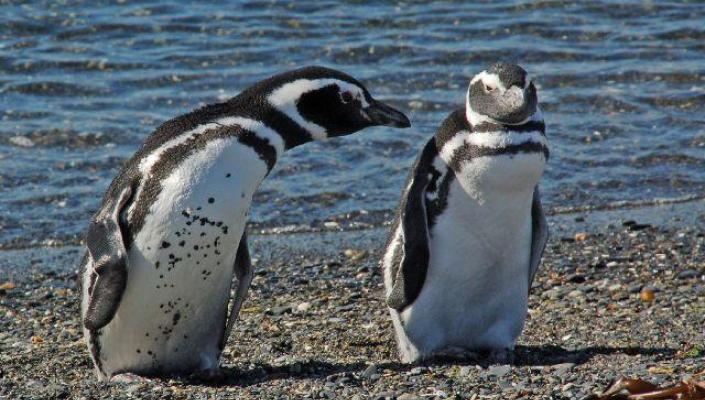 pinguini magelani 1