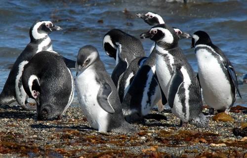 pinguini magelani 2
