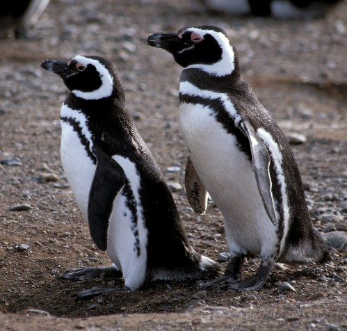 pinguini magelani 3