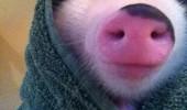 porc 1