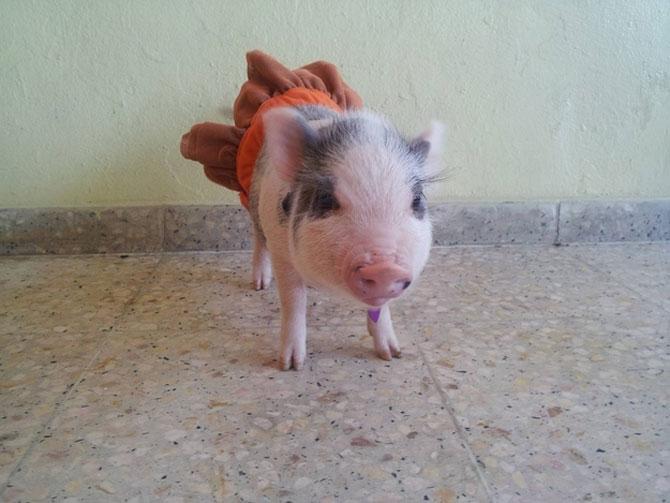 porc 7